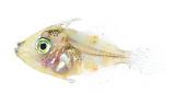 view Monacanthidae digital asset number 1