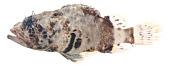 view Scorpaena digital asset number 1