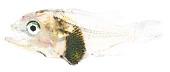 view Scorpaenidae digital asset number 1
