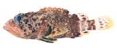 view Scorpaenodes caribbaeus Meek & Hildebrand digital asset number 1