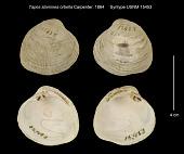 view Tapes staminea orbella Carpenter, 1864 digital asset number 1