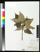 view Pipturus aff. argenteus (G. Forst.) Wedd. digital asset number 1