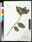 view Nothocnide mollissima (Blume) W. L. Chew digital asset number 1