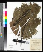 view Pleiocarpidia premnoides digital asset number 1