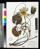 view Nymphaea caerulea Savigny digital asset number 1