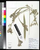 view Schizostachyum glaucifolium (Rupr.) Munro digital asset number 1