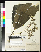 view Dendrocnide amplissima (Blume) W. L. Chew digital asset number 1