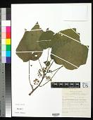 view Dendrocnide cordata (Warb. ex H.J.P. Winkl.) W. L. Chew digital asset number 1