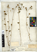 view Trigonella cephalotes Boiss. & Balansa digital asset number 1