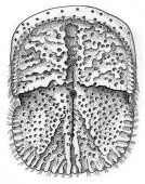 view Xylopagurus rectus Milne-Edwards, 1880 digital asset number 1