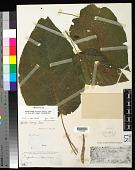 view Dendrocnide harveyi (Seem.) W. L. Chew digital asset number 1