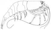 view Atyoida serrata (Spence Bate, 1888) digital asset number 1