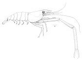 view Macrobrachium ferreirai Kensley & Walker, 1982 digital asset number 1