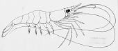 view Palaemon (Palaemon) pandaliformis (Stimpson) digital asset number 1