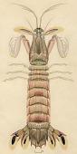 view Carinosquilla multicarinata (White, 1848) digital asset number 1
