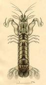 view Haptosquilla glabra (Lenz, 1905) digital asset number 1