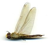 view Pantala flavescens (Fabricius, 1798) digital asset number 1