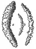 view Muricella reticulata Nutting, 1912 digital asset number 1