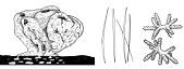 view Neamphius huxleyi digital asset number 1