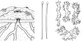 view Spheciospongia vesparium (Lamarck, 1815) digital asset number 1