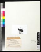 view Cystocoleus ebeneus (Dillwyn) Thwaites digital asset number 1
