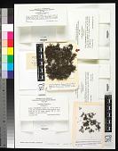 view Cetraria aculeata (Schreb.) Fr. digital asset number 1
