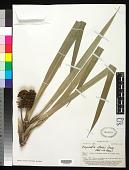 view Freycinetia storckii Seem. digital asset number 1