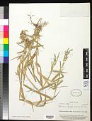 view Brachiaria mutica (Forssk.) Stapf digital asset number 1