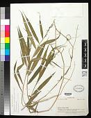 view Cyrtococcum oxyphyllum (Steud.) Stapf digital asset number 1