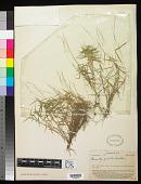view Garnotia gracilis Swallen digital asset number 1