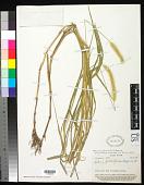 view Setaria glauca (L.) P. Beauv. digital asset number 1