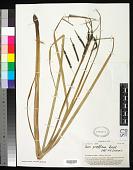 view Carex graeffeana Boeckeler digital asset number 1