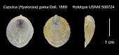 view Capulus (Hyalorisia) galea Dall, 1889 digital asset number 1