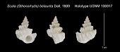 view Scala (Sthenorhytis) belaurita Dall, 1889 digital asset number 1