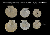 view Amusium (Propeamusium) holmesii Dall, 1886 digital asset number 1