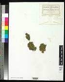 view Fabronia patentifolia Cardot digital asset number 1