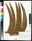 view Encephalartos kisambo Faden & Beentje digital asset number 1