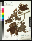 view Weinmannia richii A. Gray in Wilkes digital asset number 1