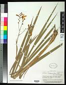 view Tritonia crocosmiiflora (Lemoine) G. Nicholson digital asset number 1