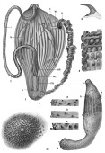 view Siphunculus arcuatus Gray, 1828 digital asset number 1