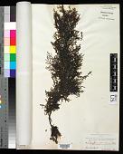 view Sargassum plumosum digital asset number 1