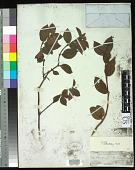 view Wikstroemia sandwicensis Meisn. digital asset number 1