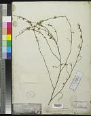 view Syrmatium glabrum Vogel digital asset number 1