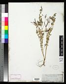 view Lotus coccineus Schltdl. digital asset number 1