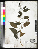 view Clerodendrum laevifolium Blume digital asset number 1
