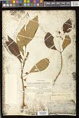 view Besleria melancholica (Vell.) C.V. Morton digital asset number 1