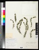 view Hydrilla verticillata (L. f.) Royle digital asset number 1