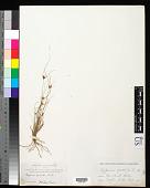view Cyperus gracilis R. Br. digital asset number 1