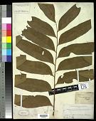 view Olfersia cervina (L.) Kunze digital asset number 1