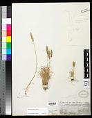 view Cinnagrostis vicunarum ined. digital asset number 1